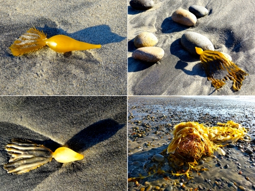 Not too much kelp on the beach, but a few of the small leaf floats were artfully arranged on the sand and rocks.  Below is a large piece of kelp, the squiggly structure in the front is the hold fast, which the kelp uses to anchor itself to the ocean floor.