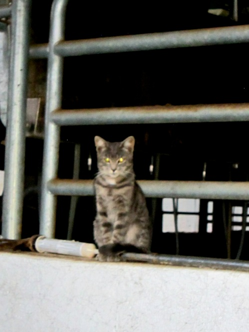 The Ghost.  This cat was super stealthy, and only came out in the milking barn when it was very quiet.  I got this photo when I went up there by myself after dinner.