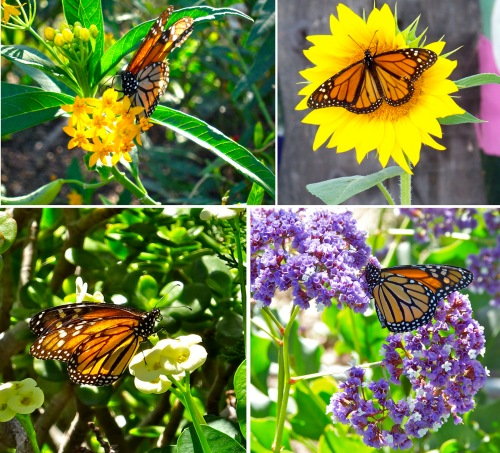 Monarch butterflies love to feed on milkweed nectar, but they also enjoy feeding from other flowers.  Be sure to have lots of different food sources for them in your sanctuary.